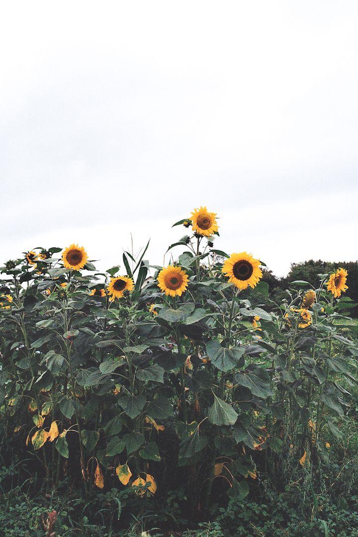 Etrabonne, France | Photo By Katrina Sophia #sunflowers