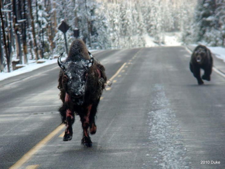 Zápasy o přežití: Divoké souboje, divokých zvířat | 100+1 zahraniční zajímavost.Grizzly vs. bizon - Medvěd grizzly je sice všežravec, dokáže ale ulovit velké savce, například losa evropského, jelena, ovce, wapiti, bizona, soba polárního a dokonce i medvěda hnědého.