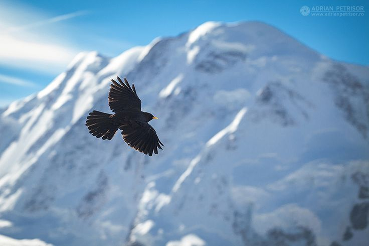 Black bird in Alps.