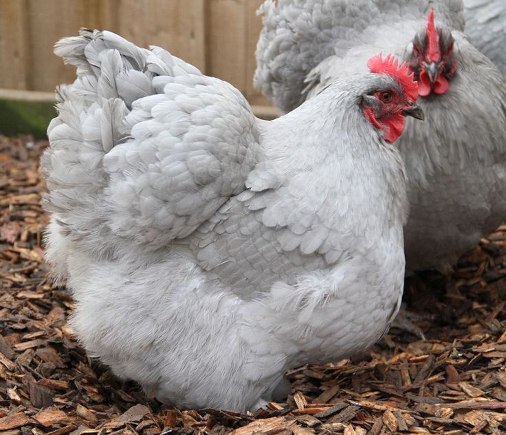 42 Best Lavender Orpington Chickens Images On Pinterest
