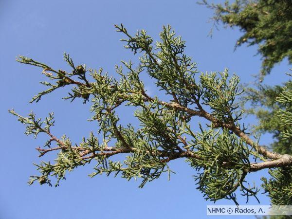 Οριζοντιόκλαδο Κυπαρίσσι, Cupressus sempervirens f. horizontalis | Μουσείο Φυσικής Ιστορίας Κρήτης