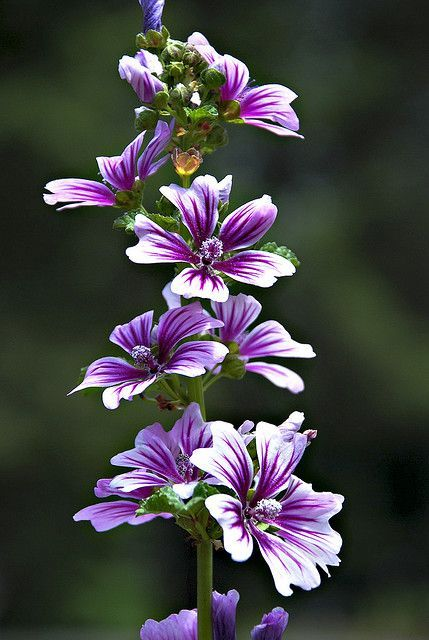 Malva by Skylinephoto on Flickr. Malva is a genus of about 25–30 species of herbaceous annual, biennial, and perennial plants in the family Malvaceae (of which it is the type genus), one of several closely related genera in the family to bear the common English name mallow.