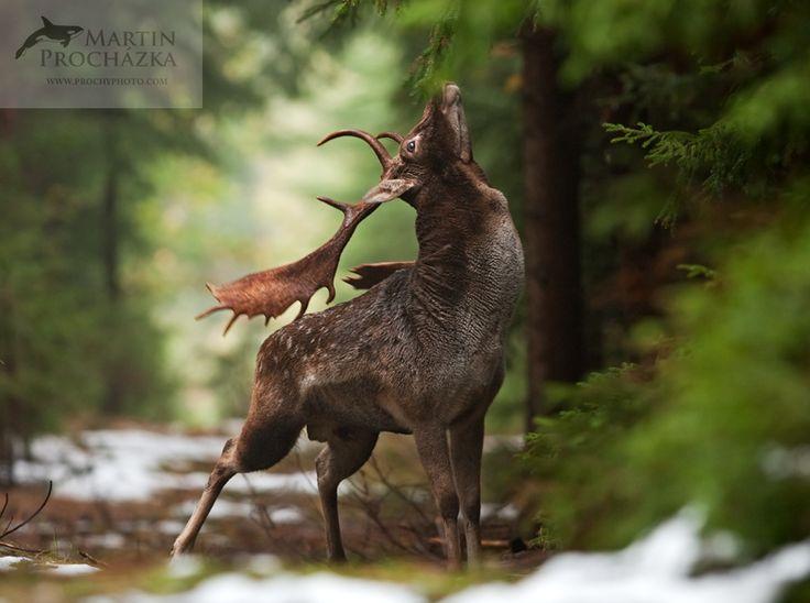 fallow deer (Dama dama) Czech