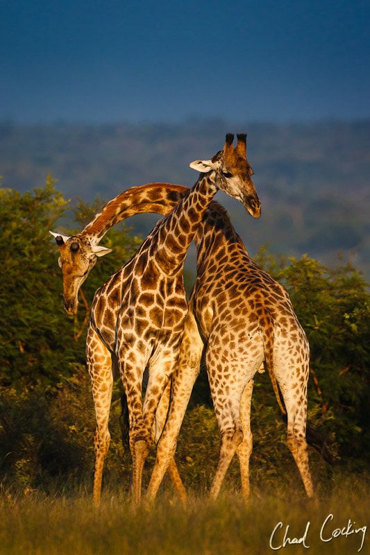 Necking Giraffes - Two young male giraffes have a playful sparring contest in the early morning at Motswari Private Game Reserve, Timbavati, South Africa