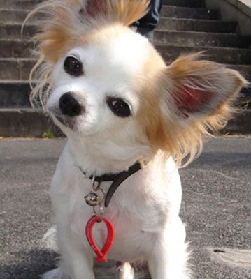 long coat chihuahua - Bing Images