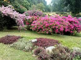 Boganvilla trees in srilanka.more information about tour.contact us.susantha2803@gmail.com