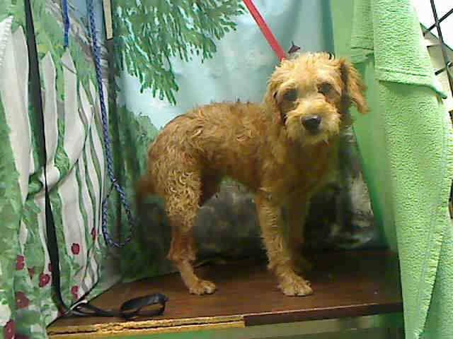 Safe At Risk For Euthanasia Per Shelter Needs An Adopter Or Rescue Commitment By Oct 13th A441200 Moreno Valley Ca Male Red Terrier Mix Mix The Sh