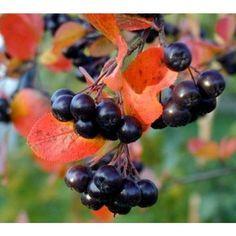aronia berry jam recipe