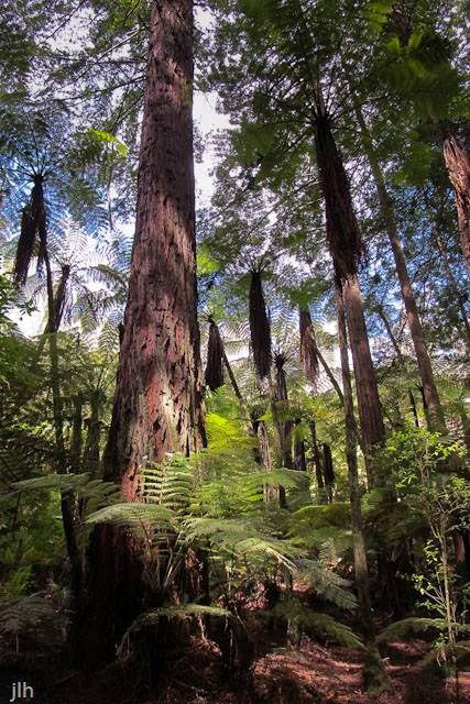 FreshTake Publishers (Photographer Jennifer Hammond). This photo was taken in the Redwood forest in Rotorua, New Zealand. It shows how the redwoods and the ferns have integrated. Despite its beauty this photo did not make our FreshTake New Zealand calendar.