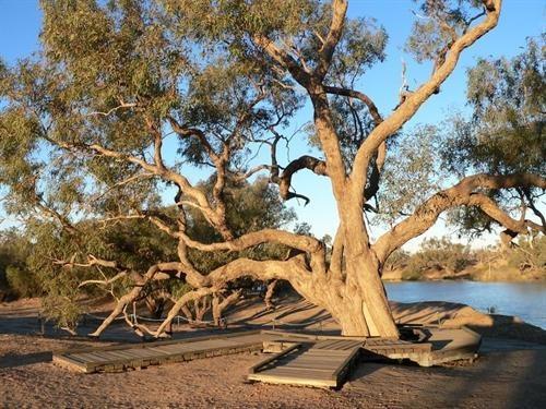 Burke and Wills Dig Tree near Innaminka