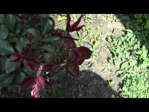 Защита смородины и крыжовника от тли и смородиновой огневки - YouTube