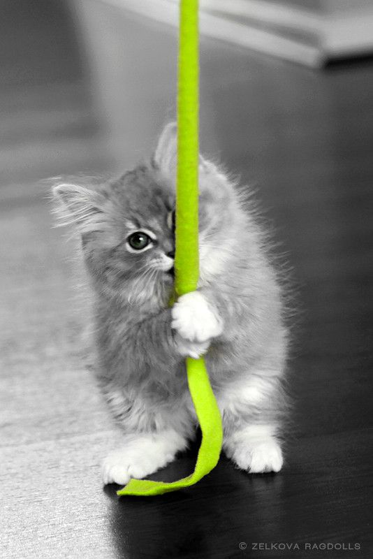 "Ragdoll Kitten ""splash"" of color #green"