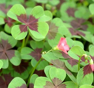 Bring yourhttp://www.easytogrowbulbs.com/p-411-oxalis-iron-cross-good-luck-plant.aspxself some luck with this beautiful plant.