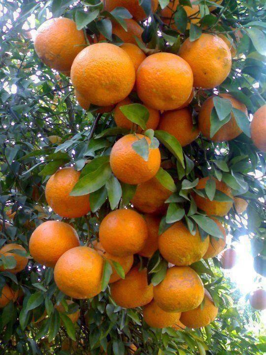 Citrus reticulata, form C. nobilis, Dalanghita or mandarin, tangerine orange