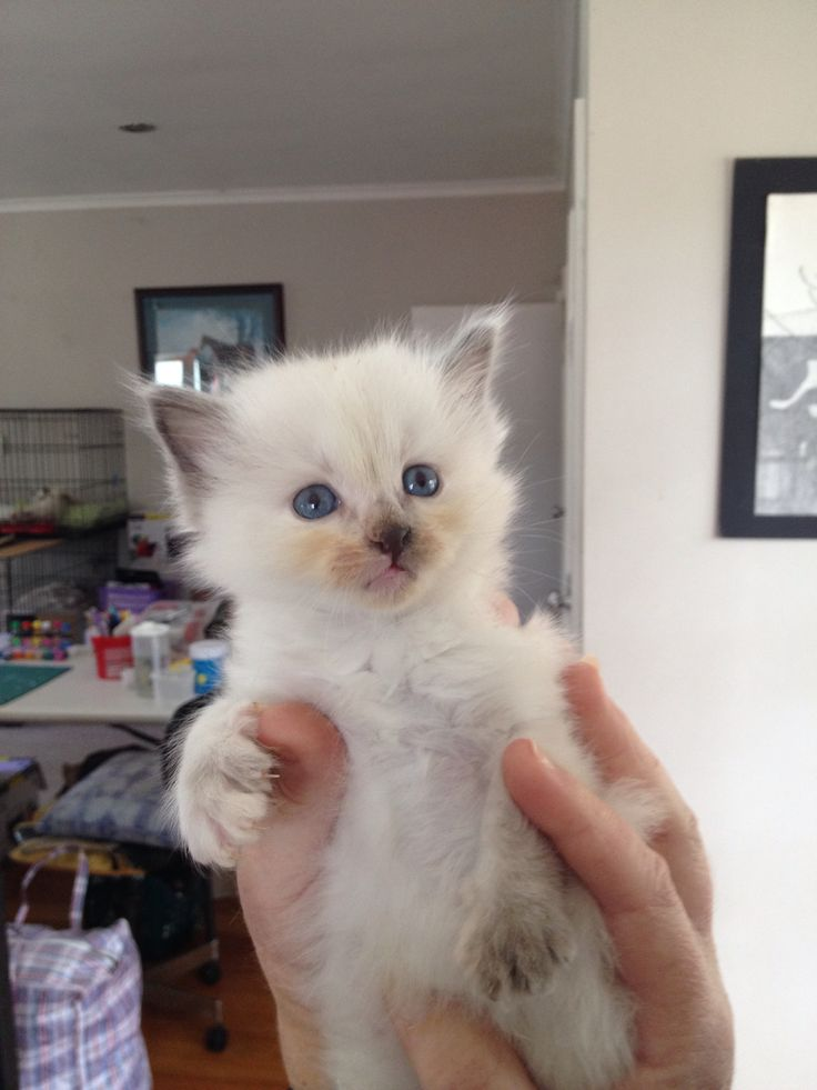 One of our adorable little girls we have at the moment. She is 4 weeks old. Breed - Ragdoll Colour -  blue cream.  She will be desex, microchip and wormed before leaving for her new family.  Ready in six weeks time.