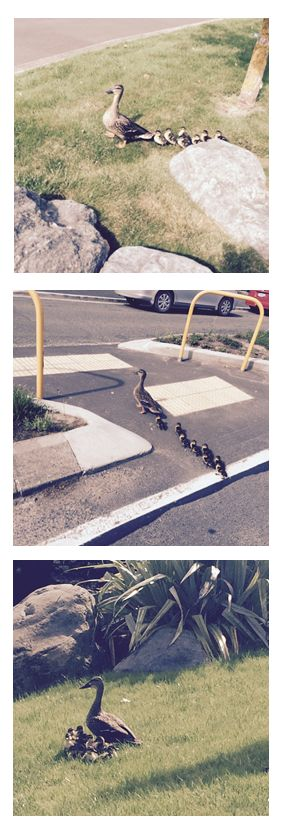 Look who came to visit us today and stock up on our Omega 3 - got to stay mentally sharp with 7 wee guys like these! Thanks to Doug our Warehouse Manger for stopping the traffic to let them cross the road #Family #SmartCookie #MummyAndHerBabies #MiddayStroll #Cute #Brave