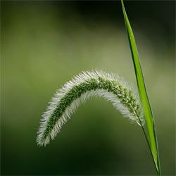 Grass - 99% of grass varieties can be eaten. The seed heads can be used as a millet for breads or filler for soups and stews. Chew on the fibrous base of stalks for beneficial juices or make tea from fresh or dried leaves. #survival