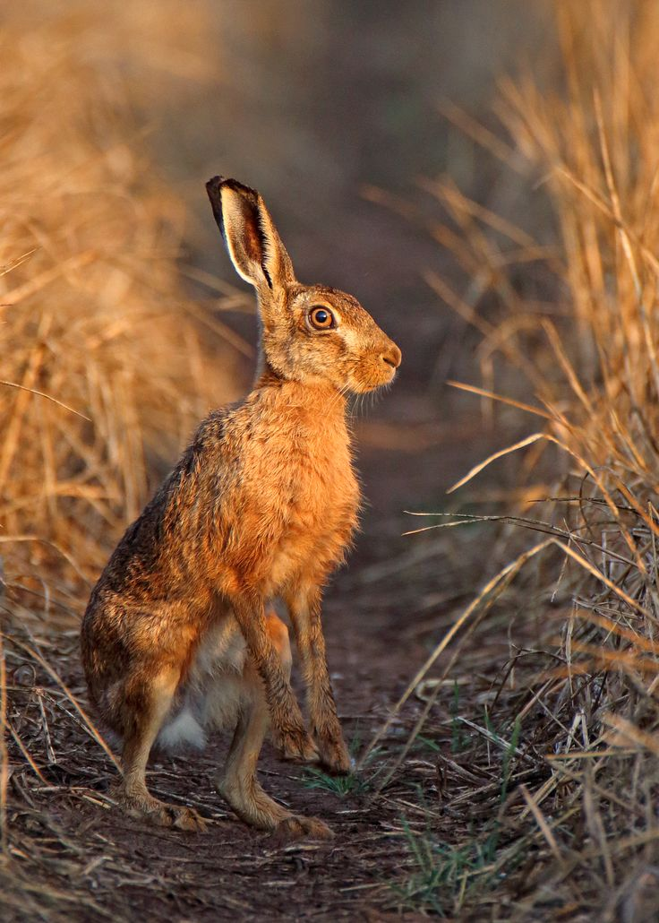 Brown Hare caught in the early morning sunlight