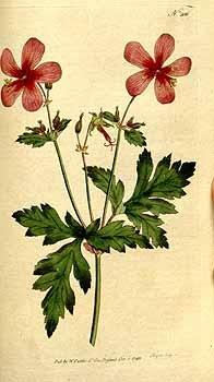 Botanical Magazine, vol. 6 (1793) vintage botanical prints