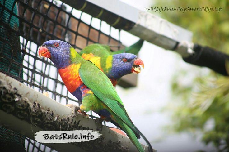 see more pics.. http://www.wildliferules-helpsavewildlife.info/2017/02/lorikeets-backyard-09022017.html . #bird #birds #lorikeet #lorikeets #wildliferules #wildlife
