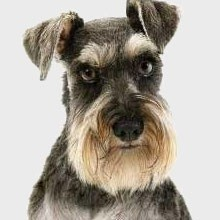 schnauzer...... I love this picture because it looks just like my little Zackary*✨✨