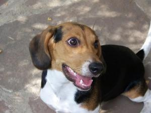 Bogie is an adoptable Beagle Dog in Sedalia, MO. He was lucky to havea angel looking out for him. He was crossing Broadway in Sedalia, almost was hit by a semi. John stopped traffic and got hime to s...