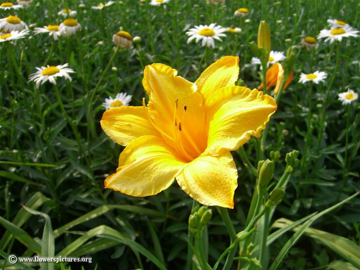 Yellow Flowers Names | Yellow flower: Daylily. Image size: 800 x 600