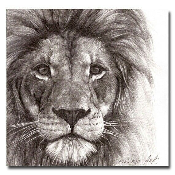 Stunning Lion Drawing