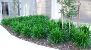 low maintenance australian plants - Google Search