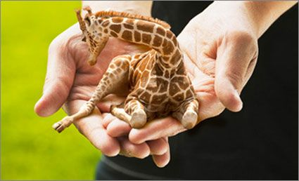 Tiny giraffes for sale ;)  Click on the link to see the live cam at the petite giraffe farm!