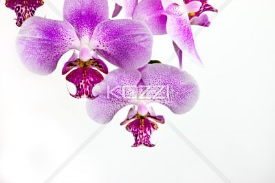 Simple clean orchid arrangement - Two orchids against white background