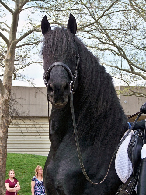 Friesian/ and a stallion, no doubt in my mind - just look at the confidence.
