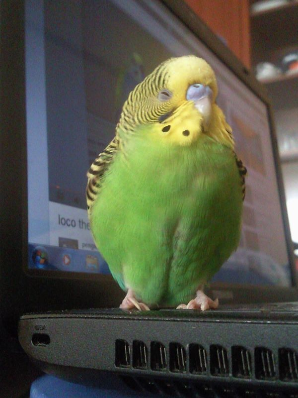 We had a parakeet like this one. We named him John McEnroe because my husband liked to watch him play tennis. We had a female parakeet named Vera.  :D