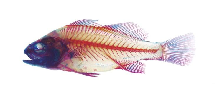 Brandon Ballengee, School of Fish - Perch. 2002-2004. Duratrans transparency, plexiglas.