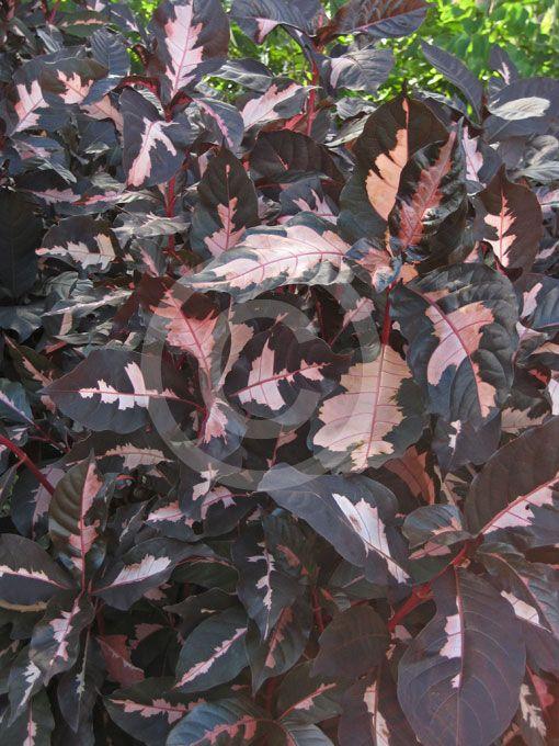 Graptophyllum pictum Chocolate