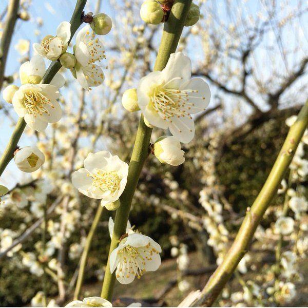 もし、閏年がなかったら、なんと今日は2017年の7/15だったそうだから、夏に梅が咲いてるー(☉·̫☉)とか季節感バラバラな暦になってたんでしょうね!http://buff.ly/1Qfvvjg  #東亜和裁 #梅園 #月影 #梅 東亜和裁(@toawasai)さん | Twitter