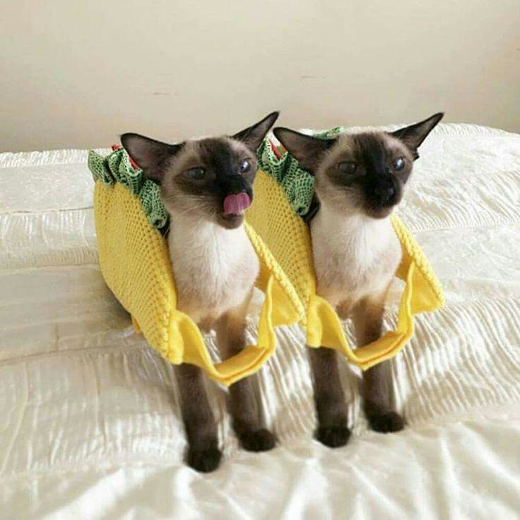 1000 images about we are siamese if you please on