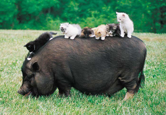 Kittens and a piggie :D