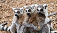 I lemuri a rischio, foreste pluviali in pericolo