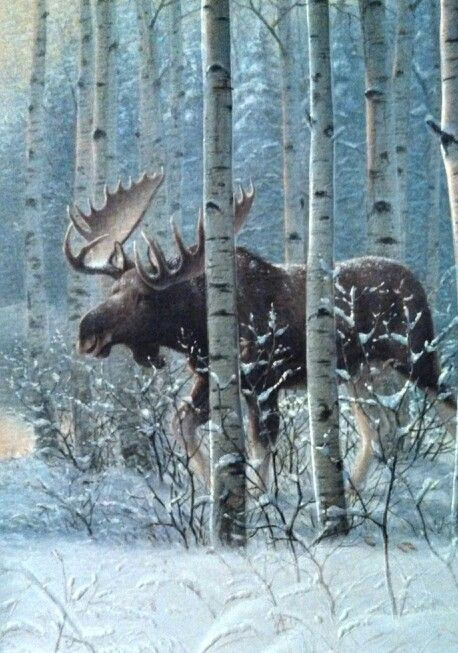 Moose in birch forest