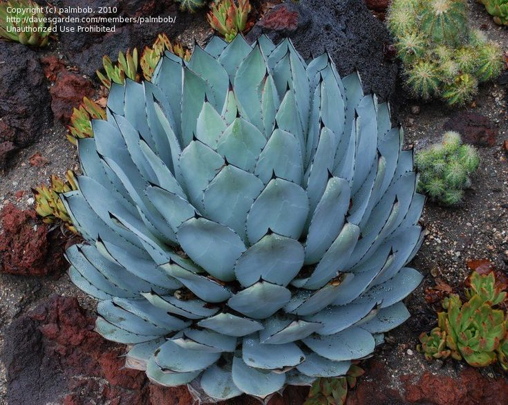 Plantfiles Pictures Agave Artichoke Agave Agave Parryi