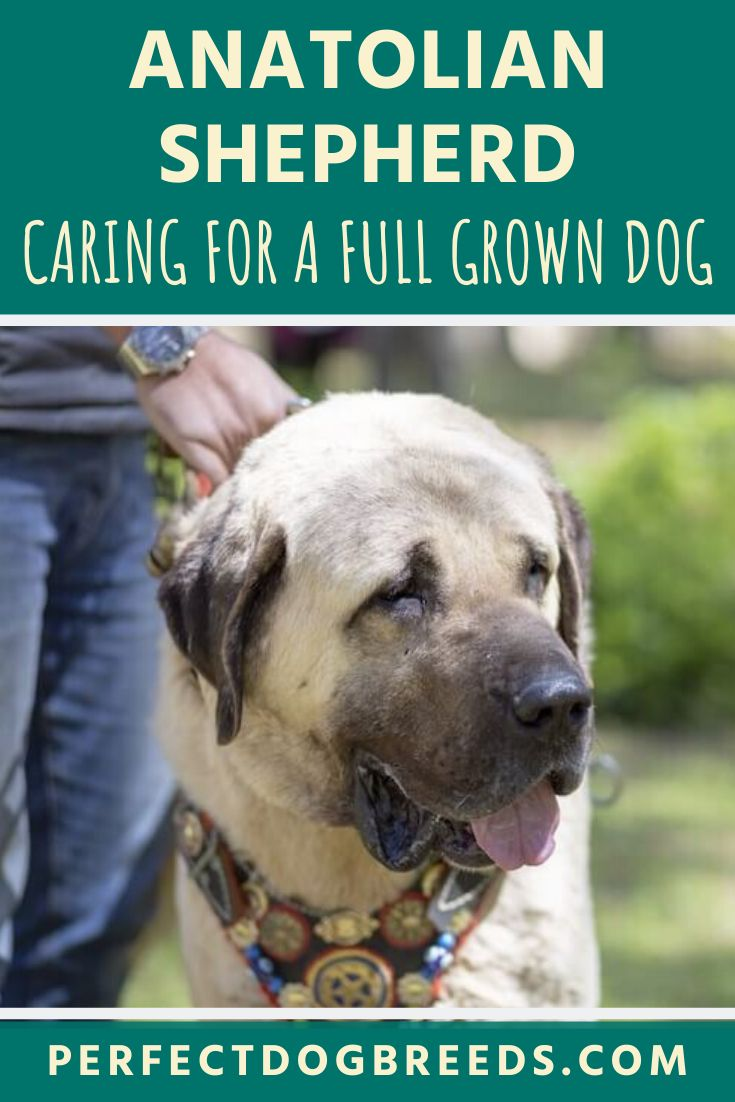 Full grown anatolian shepherd anatolian shepherd dog