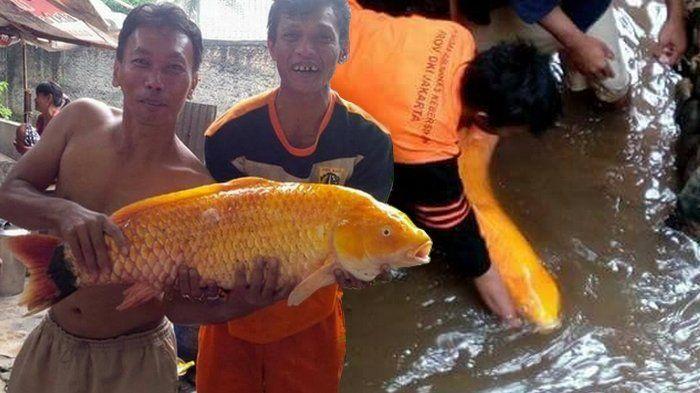 Ikan Mas Babon