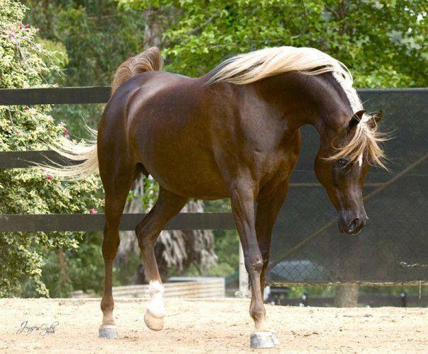 Flaxen Chestnut Arabian Horse
