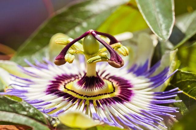 Free Image On Pixabay Flower Passion Flower Passiflora Passion Flower Landscape Photography Tips Black White Landscape