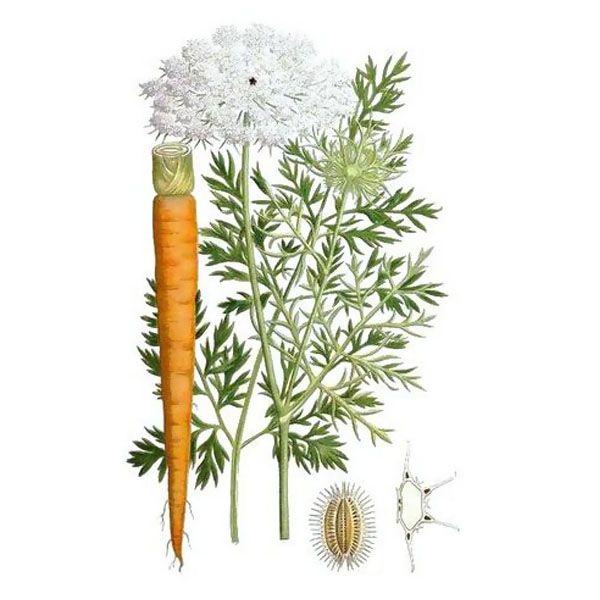 Chémotypes : carotol / Nom botanique : daucus carota / Origine : France / Partie distillée : fruit