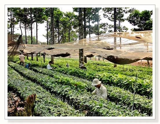 VIETNAM - cacao nursery