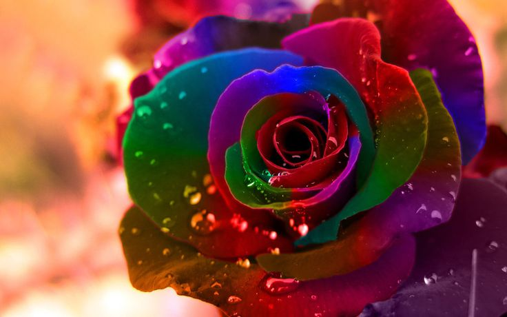 make rainbow roses - Google Search