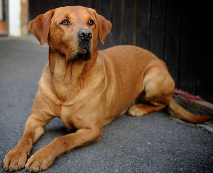"What a stunning beast.  I would love to have a dog like this.  ""`Miller` is a stunning Fox Red Labrador at stud"""