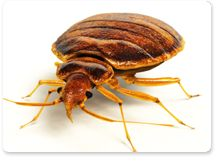 Today, Bed Bugs are more common than ever. #Aerex #pestcontrol wants to help you get rid of them. www.aerex.com